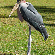 """The Marabou Stork (Leptoptilos crumeniferus) is a large wading bird in the stork family Ciconiidae. It breeds in Africa south of the Sahara, in both wet and arid habitats, often near human habitation, especially waste tips. It is sometimes called the """"undertaker bird"""" due to its shape from behind: cloak-like wings and back, skinny white legs, and sometimes a large white mass of """"hair"""". Indianapolis Zoo, Indianapolis, Indiana, USA."""