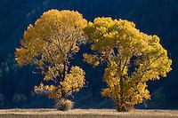 Cottonwoods during autumn in Grand Teton National Park