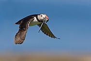 Atlantic Puffin (Fratercula arctica) adult in flight , with sand eels in beak, Farne Islands
