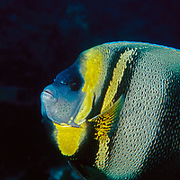 Portrait of a Cortez Angelfish on the reef, Pomacanthus zonipectus