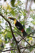 Chestnut-mandibled Toucan (Ramphastos swainsonii) hopping from branch to branch in the canopy of the Costa Rican jungle.