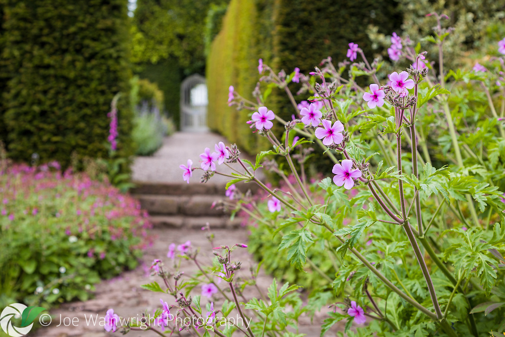 A Geranium maderense spills over a path at Abbeywood Gardens, Cheshire - photographed in June