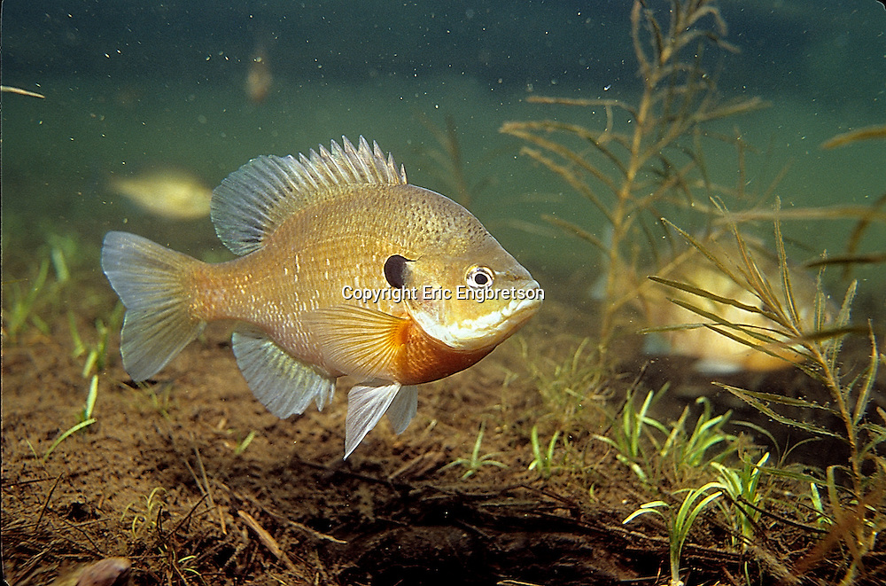 Bluegill sunfish engbretson underwater photography for Bluegill fish tank