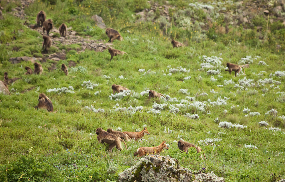 Gelada baboons and Ethiopian wolves on the Guassa Plateau of Ethiopia