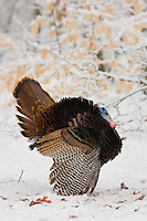 An adult male wild turkey (Melegris gallopavo) strutting..Lexington, MA, USA.