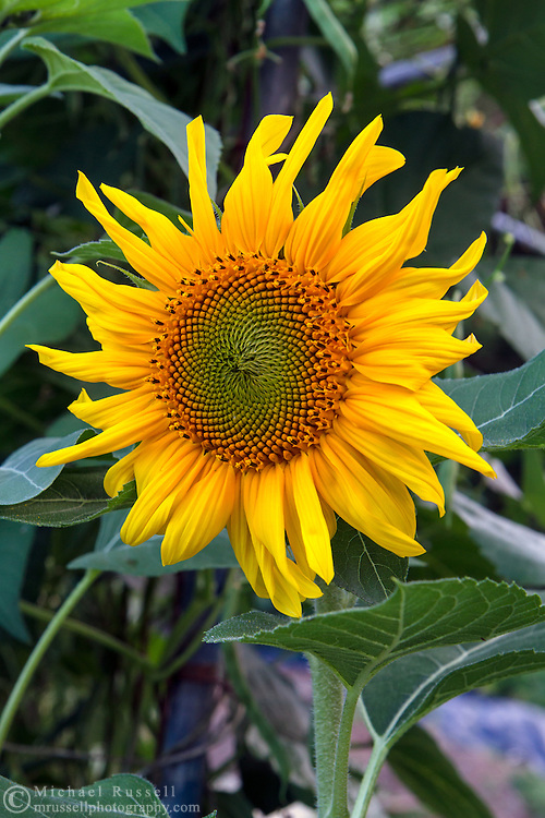 A Black Oil Sunflower (Helianthus annuus hybrid) blooming in a vegetable garden in the Fraser Valley of British Columbia, Canada