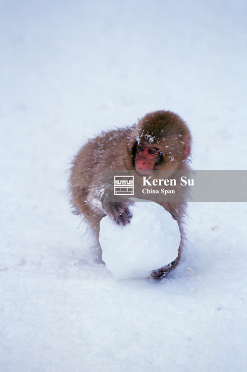 Baby Japanese Snow Monkey playing with snowball Japan