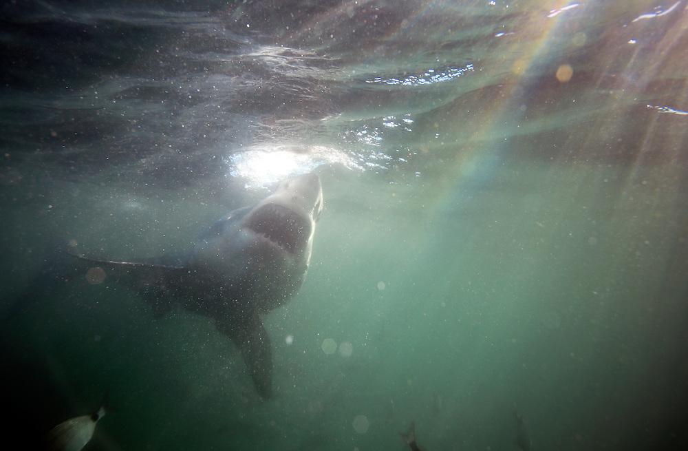 Great white shark underwater view