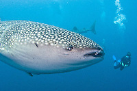 Biak and Cenderawasih Bay diving and area. Whale sharks, reefs and WWII shipwrecks are found in the area.<br />    Western Papua, Indonesia.