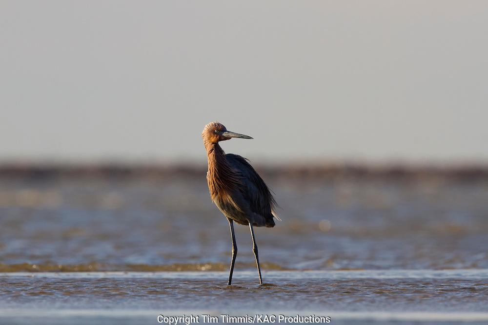 Reddish Egret, Egretta rufescens, Bolivar Flats, Texas gulf coast, standing in water, windy, waves