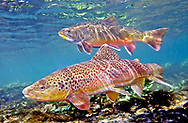 Brown Trout (with Brook Trout in Background)<br />