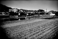 """Paddy field of 83 year old farm is surrounded by residential development as this western Tokyo community has been transformed from a rural to a suburban settlement, Naganuma, Tokyo, Japan.  When asked whether his son continues farming, he responded that his son has a """"money job"""".  Financial incentives have steadily drawn the younger generations of Japanese away from the rural life."""