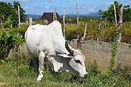 White bullock eating grass near San Luis, Pinar del Rio, Cuba. The netting on the fence is to protect the crop from the wind.