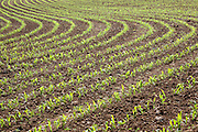 Early growth crop of corn (maize). Field near Postlip, Gloucestershire