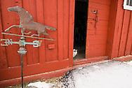 Barn cat, door, red barn, weathervane, winter, <br /> PROPERTY RELEASED