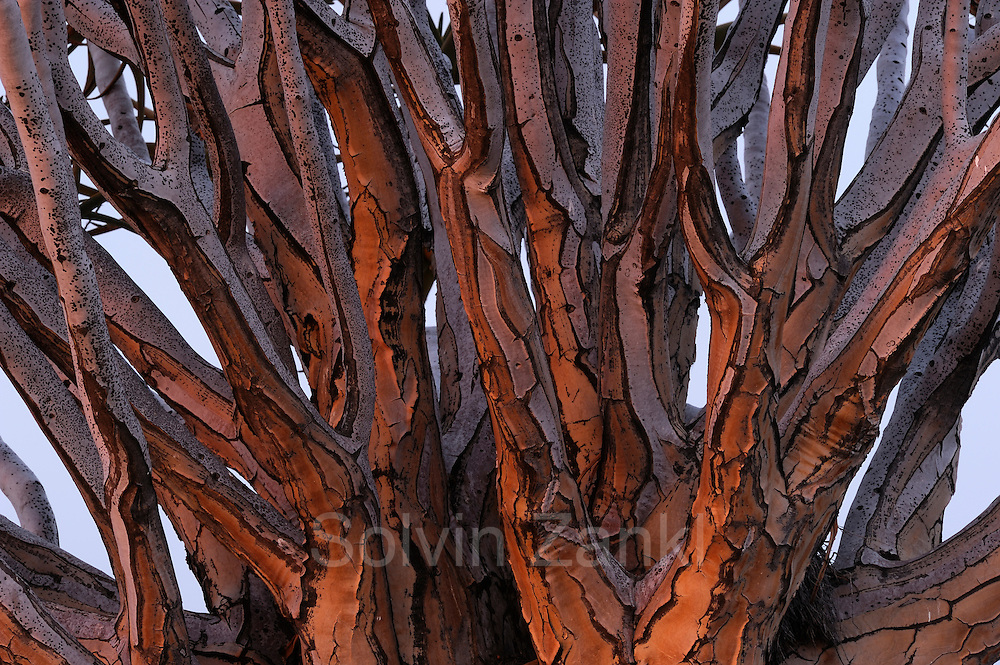Quiver Tree (Aloe dichotoma), Namib Desert, Namibia.