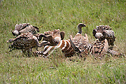 Africa, Tanzania, Lake Manyara National Park White-backed Vulture, Gyps africanus, eatring a Zebra carcass