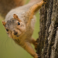 Secor Squirrel