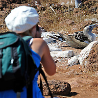 Model released photo of a tourist photographing a blue-Footed Booby ( Sula nebouxii excisa)