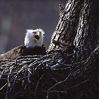 American bald eagle (Haliaeetus leucocephalus) in nest, Katmai National Park, Alaska.