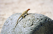 female Santiago Lava Lizard on a rock, Galapagos Islands.