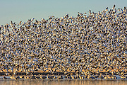 Snow Geese taking flight above Sandhill Cranes at Bosque del Apache National Wildlife Refuge, New Mexico.