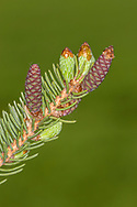 Pine twig with new bud growth and flower cones