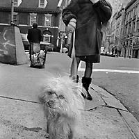 Dog on street; Madison Avenue, NYC 1993