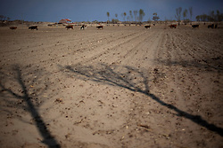 Shadows of trees that have been planted to protect an agriculture farm are seen as cattle graze in the field in Kunlun Qi in the Inner Mongolia Autonomous Region of China on 23 April 2011. Inner Mongolia, China's third largest province, is fighting severe desertification, much like the provinces of Xinjiang, Gansu, Qinghai, Ningxia, Shaanxi, Heilongjiang and Hebei. Over-grazing, logging, expanding farms and population pressure, along with droughts have steadily turned once fertile grasslands into sandy plains. China has adopted measures to stop the land degradation such as reforestation, resettling nomadic Mongolians from grasslands to urban areas and restricting grazing areas. Tree planting has become a key government effort to combat desertification and supporting the government's reforestation endeavors are numerous non-governmental organizations (NGOs), such as Shanghai Roots & Shoots. The NGO launched the Million Tree Project in 2007 in Kulun Qi with aims to plant its first million trees by 2014 to hinder the expanding desert. To-date, they have planted more than 600,000 trees.