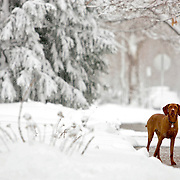 "(DENVER, CO Shot on 4/10/05)  .Tanner plays in the snow during an unexpected spring blizzard in Denver, Co.The Vizsla, as described in the American Kennel Club (AKC) standard, is a medium-sized short-coated hunting dog of distinguished appearance and bearing. Robust but rather lightly built; the coat is a golden-rust color. The coat could also be described as a copper/brown color. They are lean dogs, and have defined muscles, and are similar to a Weimaraner. Vizslas are lively, gentle-mannered, loyal, caring and highly affectionate. They quickly form close bonds with their owners, including children. Often they are referred to as ""velcro"" dogs because of their loyalty and affection. They are quiet dogs, only barking if necessary or provoked. They are natural hunters with an excellent ability to take training (American Breed Standard, AKC). Not only are they great pointers, but they are excellent retrievers as well..(Photo by MARC PISCOTTY / © 2005)"