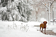 """(DENVER, CO Shot on 4/10/05)  .Tanner plays in the snow during an unexpected spring blizzard in Denver, Co.The Vizsla, as described in the American Kennel Club (AKC) standard, is a medium-sized short-coated hunting dog of distinguished appearance and bearing. Robust but rather lightly built; the coat is a golden-rust color. The coat could also be described as a copper/brown color. They are lean dogs, and have defined muscles, and are similar to a Weimaraner. Vizslas are lively, gentle-mannered, loyal, caring and highly affectionate. They quickly form close bonds with their owners, including children. Often they are referred to as """"velcro"""" dogs because of their loyalty and affection. They are quiet dogs, only barking if necessary or provoked. They are natural hunters with an excellent ability to take training (American Breed Standard, AKC). Not only are they great pointers, but they are excellent retrievers as well..(Photo by MARC PISCOTTY / © 2005)"""