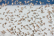 Western Sandpipers (Calidris mauri) and Dunlin (Calidris alpina) swarm the waters of Hartney Bay near Cordova in Southcentral Alaska  during high tide to feed during their spring migration to the arctic. Evening.