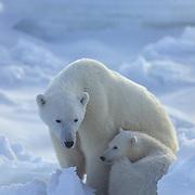 Polar bear (Ursus maritimus) mother and cub. Churchill, Manitoba. Canada