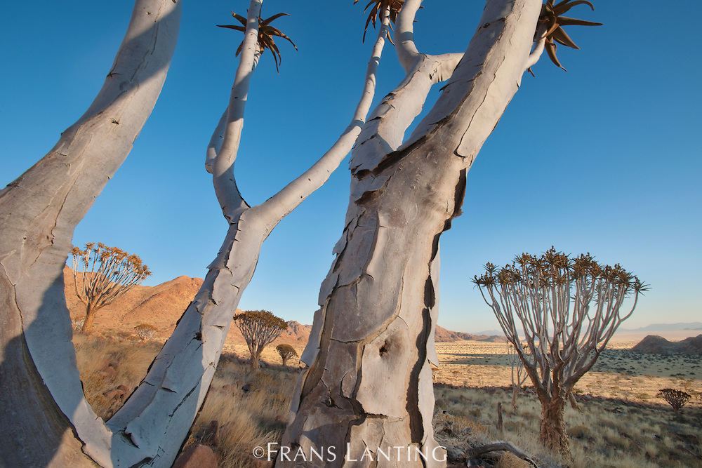 Quiver trees, Aloe dichotoma, NamibRand Nature Reserve, Namibia