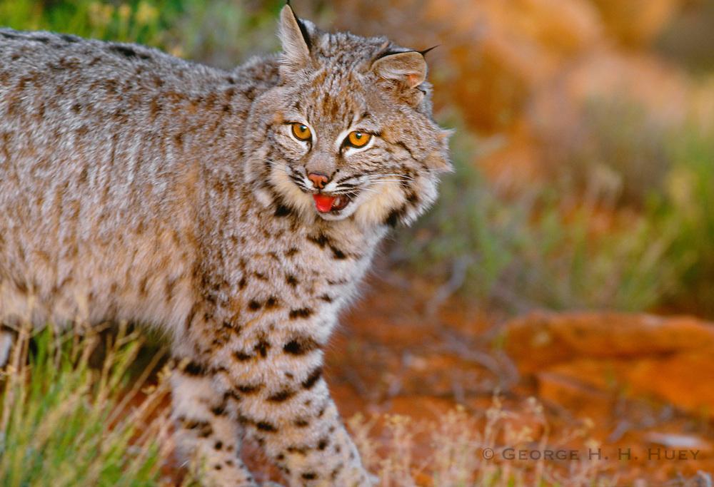 350103-1061 ~ Copyright: George H. H. Huey ~Bobcat kitten [Felis rufus]. High desert, Colorado Plateau. Near Zion National Park, Southern Utah.