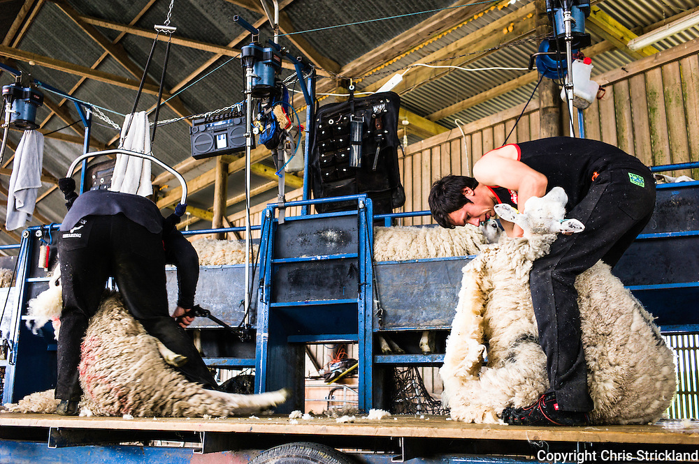 Dolphinston Farm, Jedburgh, Scottish Borders, UK. 15th July 2015. A flock of Lleyn sheep being clipped on a summers day in the Scottish Borders on Dolphinston Farm. Lleyn sheep are a breed of sheep from the Llŷn peninsula ('Lleyn'), in Gwynedd, north-west Wales. They are bred for prolificacy, good mothering, quiet in nature, high milk yield and excellent for white wool. They are suited to both upland and lowland grazing and the breed is raised primarily for meat.