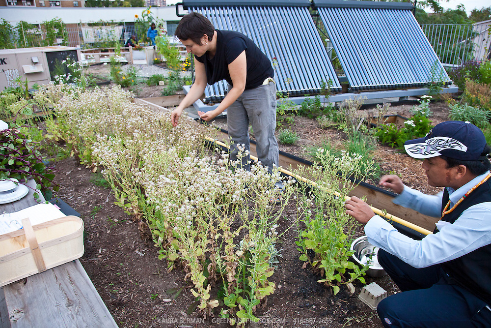 Harvesting lettuce seeds on the Access Alliance rooftop garden.