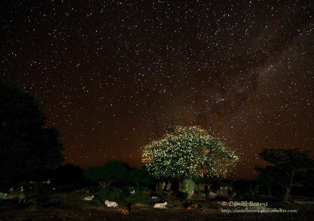 Toborochi tree in Bloom and night sky, Yapiroa, Charagua, Bolivia