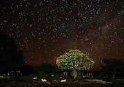 Toborochi tree in Bloom and night sky, Yapiroa, Charagua, Bolivia