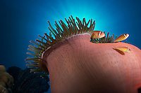 A family of pink anemonefish (Amphiprion perideraion) in their host anemone. Rabaul, Papua New Guinea.