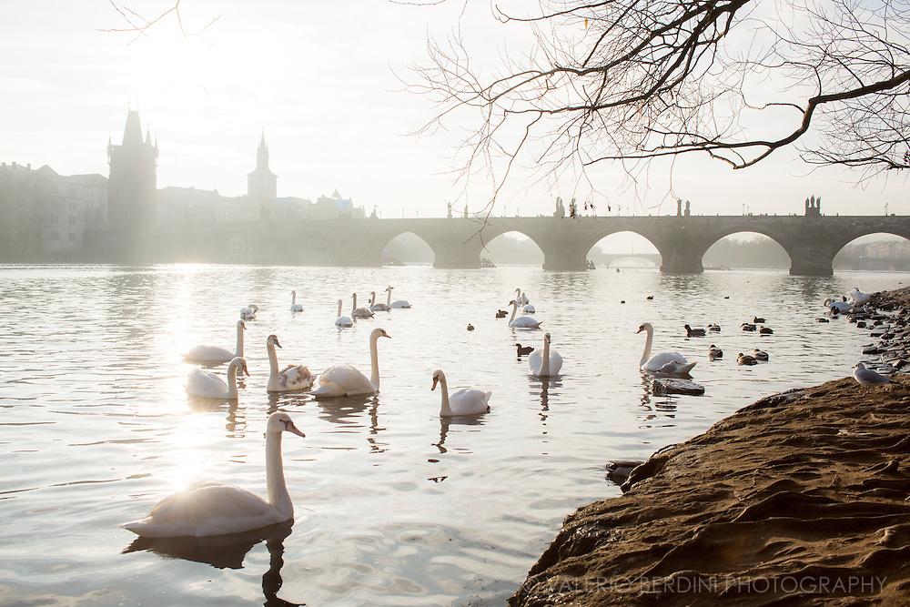 Swans swim early morning in the Vltava River in front of Charles Bridge in Prague.