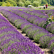 A man and woman walk through rows of lavender (flowering plant in the mint family, Lamiaceae). Grown at Jardin du Soleil Lavender Farm at the Sequim Lavender Festival held mid July on the Olympic Peninsula in Washington, USA.