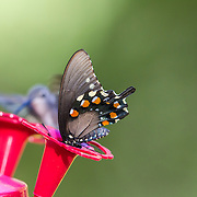 pipevine swallowtail, butterfly, feeding at hummingbird feeder, Madera Canyon, Arizona, late summer