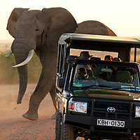 Africa, Kenya, Amboseli. Elephant and Jeep at Amboseli.