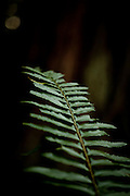 A fern in Muir Woods National Monument, January 26, 2011.