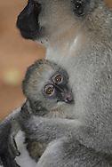 Balck faced vervet monkey ( Cercopithecus aetitiops ) Masai Mara National Park. Kenya. Africa<br />