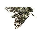Pawpaw Sphinx - Hodges#7784 (Dolba hyloeus)<br /> ALABAMA: Tuscaloosa Co.<br /> Tulip Tree Springs off Echola Rd.; Elrod<br /> 9-April-2016<br /> J.C. Abbott #2793 &amp; K.K. Abbott