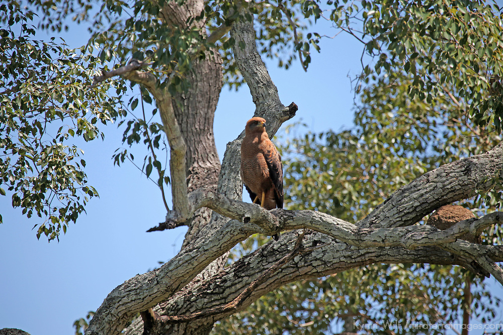 South America, Brazil, Pantanal. Savanna Hawk of the Pantanal.