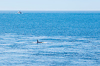 A liesure boat in the distance follows a pod of Orca whales, one of which is at the surface.  Haro Stait, Washington, USA.