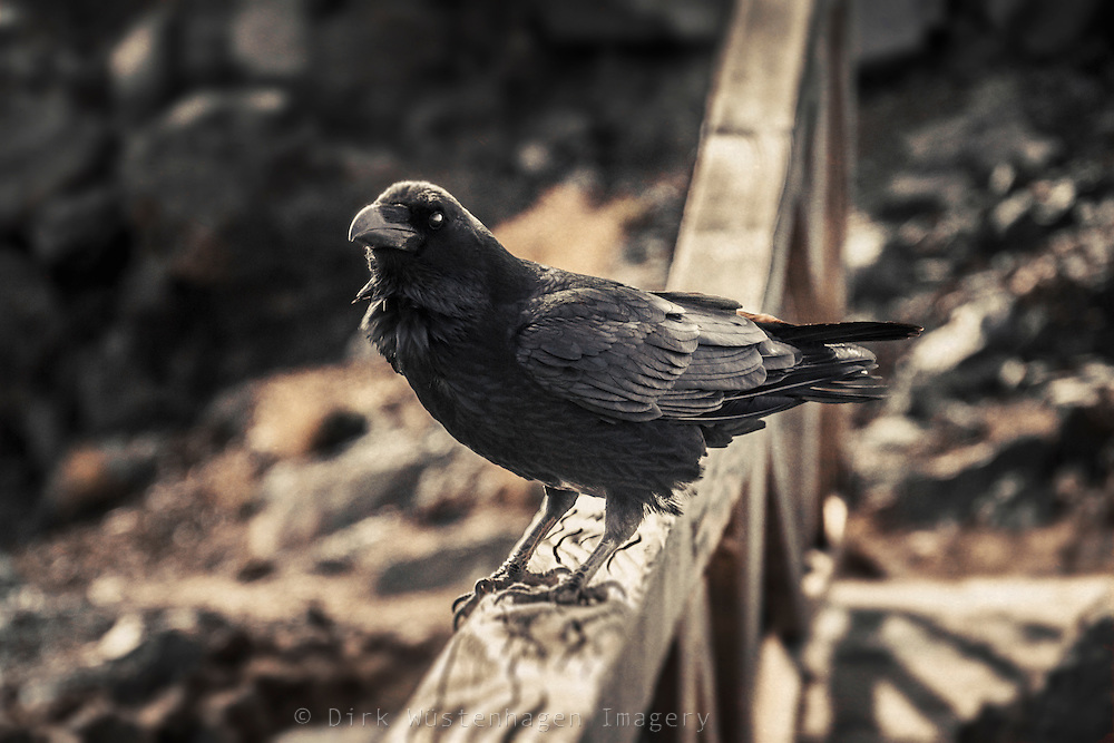 Kolkrabe (Corvus Corax) auf Holzzaun, La Palma, Kanarische Inseln, Spanien,